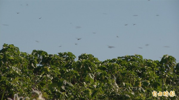 台東海邊出現大量蜻蜓飛舞。(記者張存薇攝)