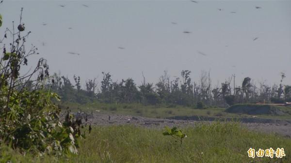 義守大學副教授趙仁方說明,現在是薄翅蜻蜓繁殖期,可能剛好碰到海面上氣壓改變,因此聚集在出海口。(記者張存薇攝)