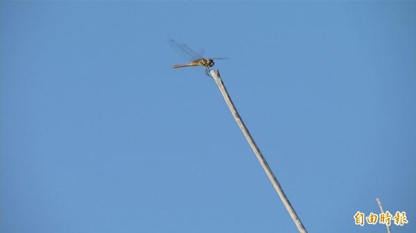 薄翅蜻蜓偶爾停下休息。(記者張存薇攝)