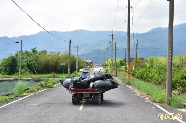 7月尼莎颱風造成三星蔥損失慘重,蔥農憂泰利再造成災情,今早趁天氣良好時趕緊搶收。(記者張議晨攝)