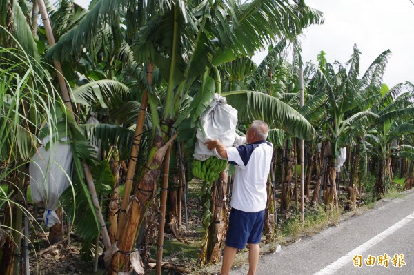 香蕉即將收作,蕉農忙著做好防颱工作,避免損失。(記者林國賢攝)