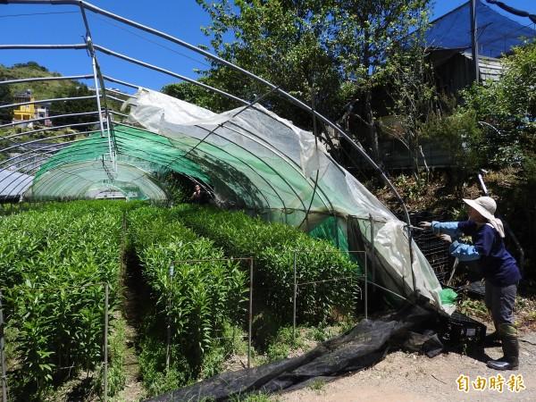 仁愛鄉清境地區花農收起溫室設施,以免強風傾倒壓毀嬌貴的香水百合。(記者佟振國攝)