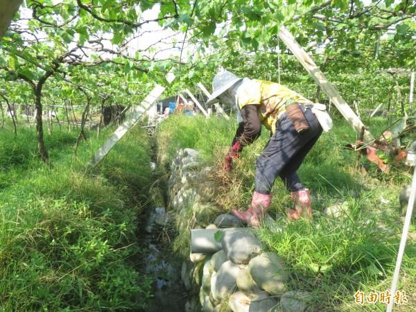 種在露天環境的葡萄防颱措施效果有限,但果農仍事先清理水溝,避免堵塞造成淹水,影響根系與果實生長。(記者劉濱銓攝)