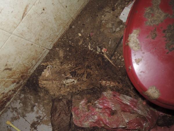 貓屍陳屍已久,布滿蛆蟲,甚至只剩白骨及皮毛,屋內充滿濃重屍臭。(基隆市動物保護防疫所提供)