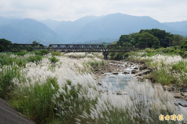 在竹崎親水公園中,可見甜根子草在牛稠溪畔隨風搖曳,圖中鐵橋為阿里山森林鐵路第13號橋。(記者曾迺強攝)