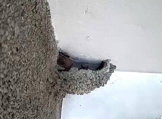 蝙蝠見屋簷下的燕子家族飛走,佔據鳥巢充當蝙蝠窩。(記者陳文嬋翻攝)