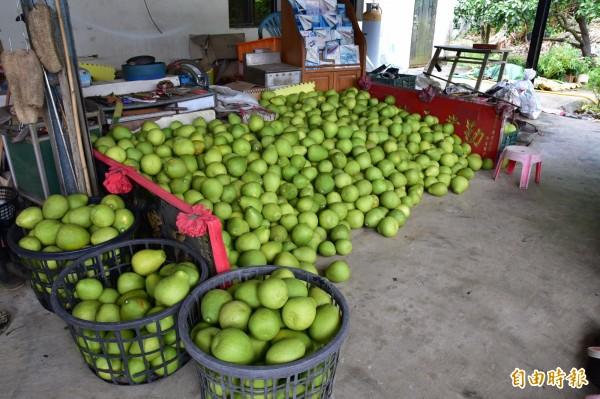 宜蘭縣冬山文旦柚近期已陸續採收。(記者張議晨攝)