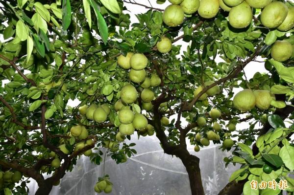 冬山鄉文旦柚已到採收期,中山社區發展協會為此推出促銷活動,盼打響宜蘭文旦名氣。(記者張議晨攝)