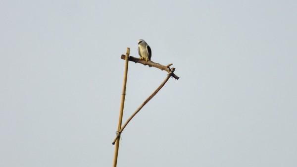 黑翅鳶停靠在人工棲架上。(屏科大鳥類研究室提供)