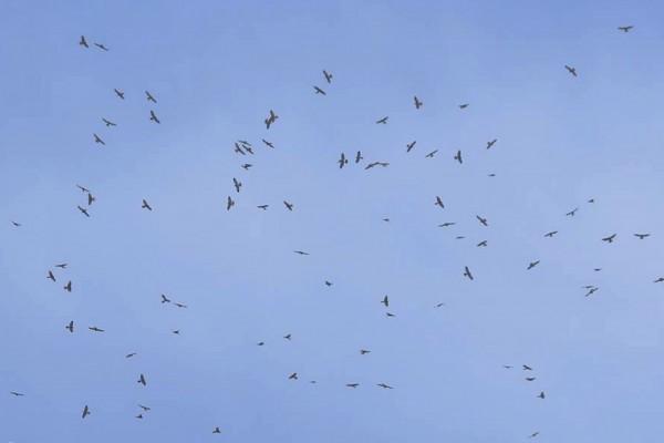 每年秋季南飛遷徙的赤腹鷹。(記者蔡宗憲翻攝)