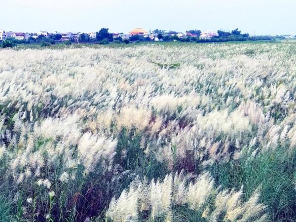 八掌溪河畔的甜根子草。(鄭緯武提供)