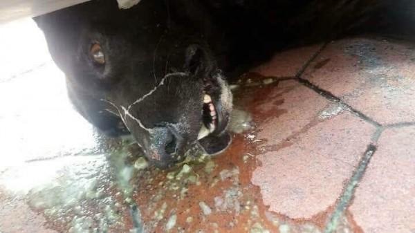 中正大學附近傳有人放毒餌,流浪狗誤食毒餌抽搐死亡。(嘉義市動物守護協會提供)