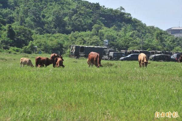 居民放牛吃草抗議軍方。(記者蔡宗憲攝)
