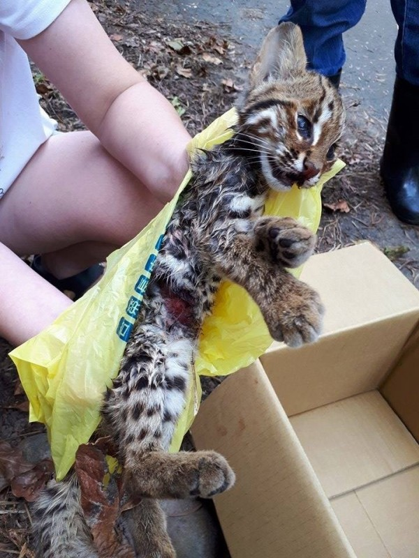 有民眾在苗栗縣苗48線路旁發現一隻幼石虎死亡,死因待查。(圖截自貓徑地圖王小明臉書)