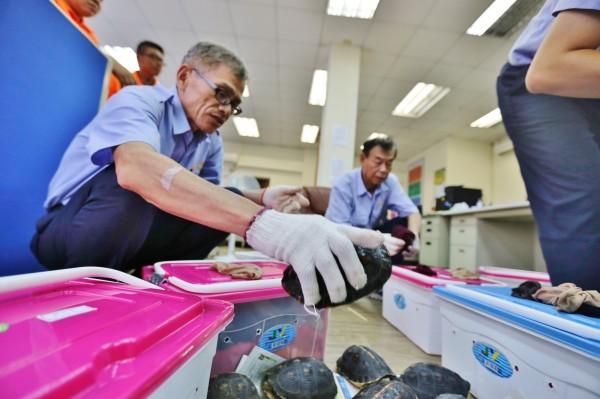 海關人員從箱中檢視查獲的食蛇龜,數量共298隻。(圖由金門海關提供)