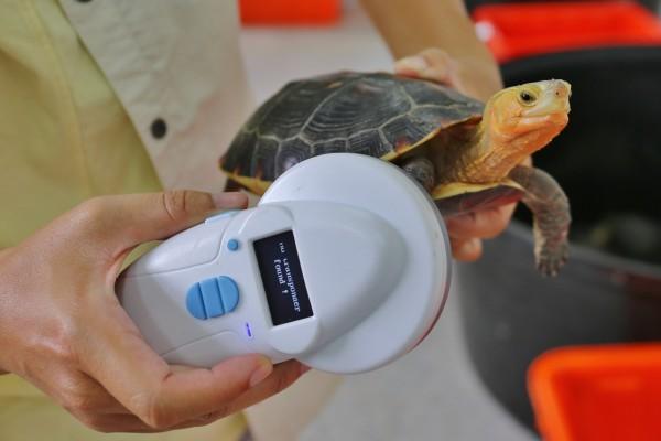 海關人員以儀器檢視食蛇龜是否置有晶片。(記者吳正庭攝)