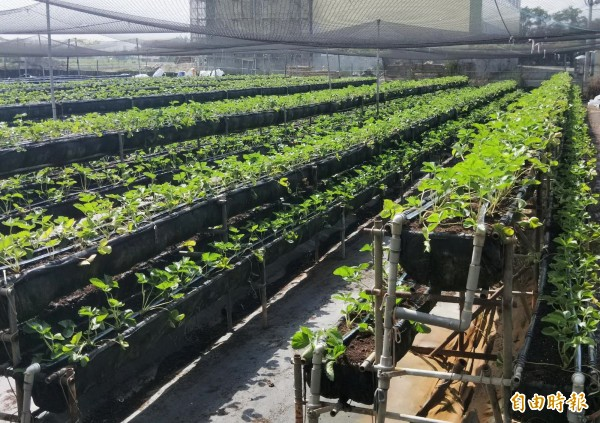 擔心趕不及農曆春節的收成,有業者已開始試種。(記者吳俊鋒攝)