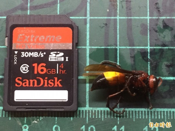 「醉死」的黃腰虎頭蜂,體長約2公分,體型大約是數位相機記憶卡的一半。(記者黃美珠攝)