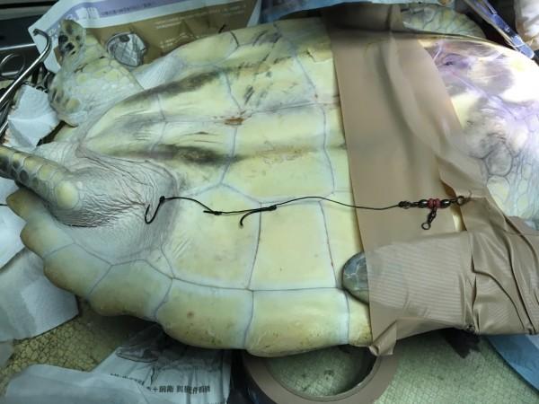 鉤子長度已進入海龜腹內,若不及時取出恐影響生命。(圖由澎湖家畜疾病防治所提供)