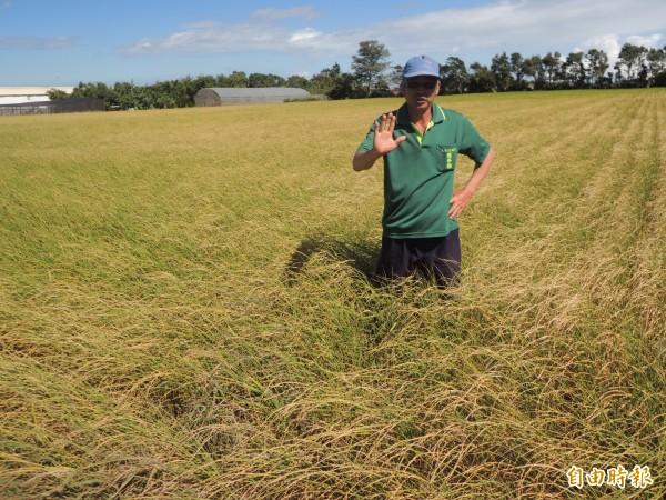 新豐鄉農民羅有亮砲轟,目前又未限水,但新豐卻無水可灌溉,其中8之12及14號池塘已乾涸見底,他推估影響稻田面積數十公頃。圖中稻穗已枯萎變黃。(記者廖雪茹攝)
