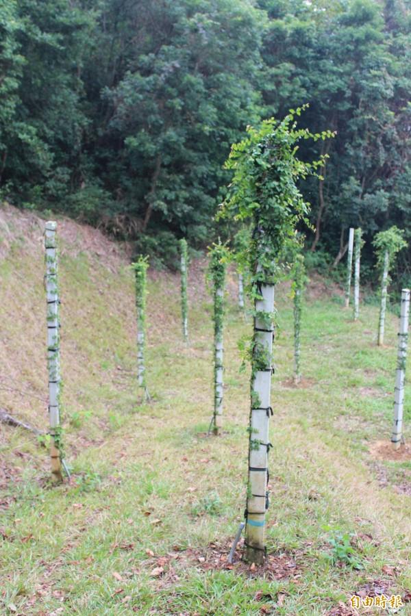 新竹縣政府農業處建議大坪社區,儘快找到社區福田試種愛玉,有助公部門具體了解該如何幫助農民發展這項特色作物。(記者黃美珠攝)