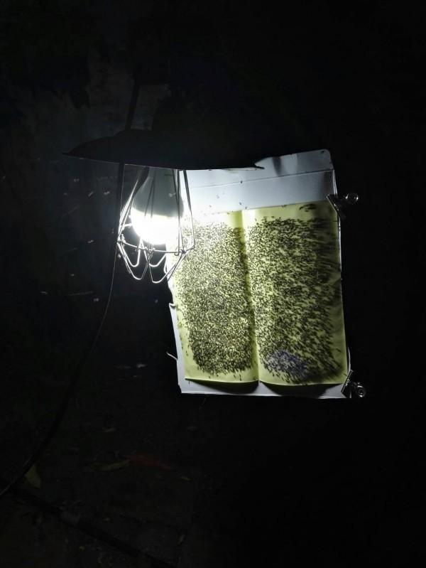六龜區近日傳出琉璃蟻大量出沒民宅,短短10分鐘,黏蠅紙已爬滿琉璃蟻。(記者黃佳琳翻攝)