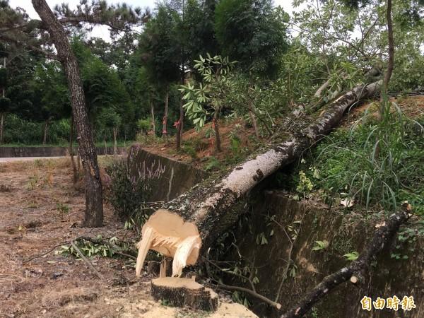 埔里鎮公所以虎頭山飛行傘起降場旁黑板樹影響公共安全,今進行砍除,引發爭議。(記者佟振國攝)