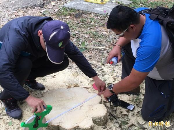 林務局南投林管處埔里工作站人員到場調查損害情形,進行噴漆編號及樹徑量測。(記者佟振國攝)