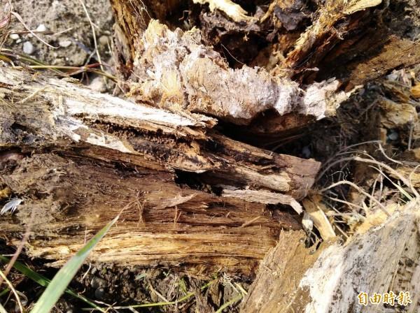 褐根病入侵,樹根已經腐爛。(記者詹士弘攝)