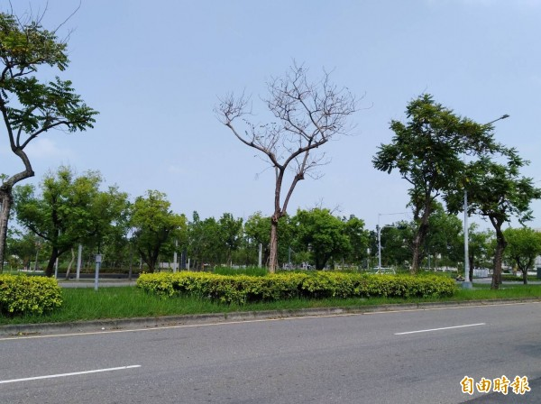 行道樹已感染褐根病,已經死亡。(記者詹士弘攝)