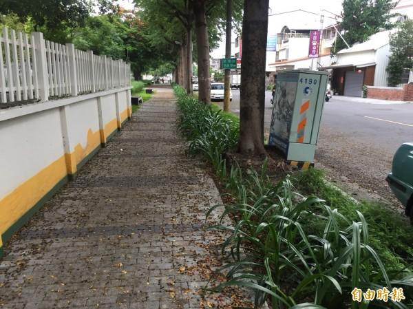 小葉欖仁會破壞人行步道,市公所決定要移植(記者葉永騫攝)