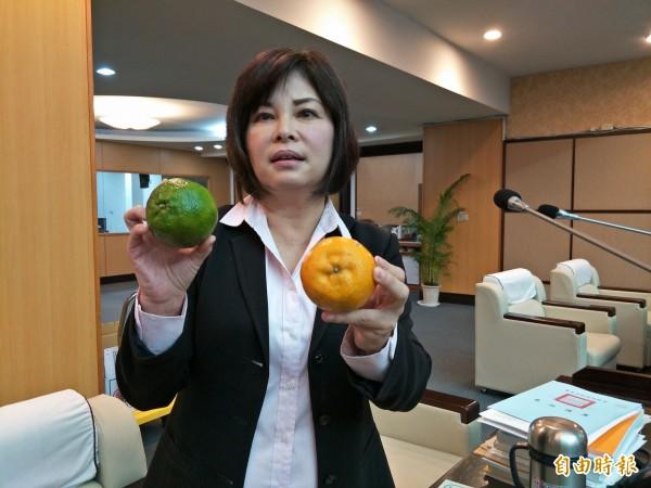 賴惠員表示,等到農民採收時,青皮椪柑都已經黃了。(記者邱灝唐攝)