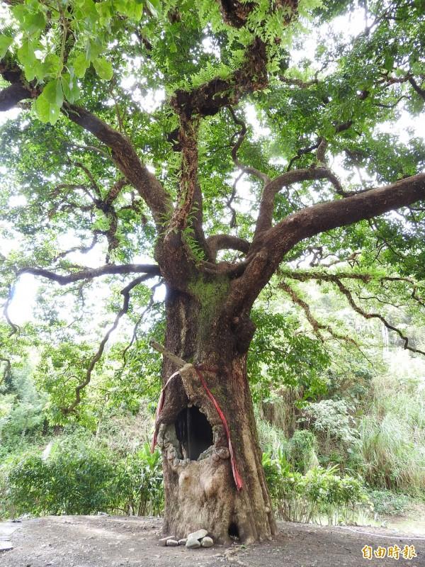 南投縣國姓鄉北港村有株樹齡約300年的茄苳樹,樹幹已呈中空,仍老當益壯。(記者佟振國攝)