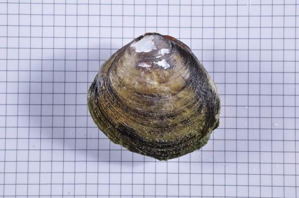 新竹縣政府農業處表示,民眾在新豐紅樹林所挖的不是文蛤,而是對濕地過濾水質很重要的紅樹蜆。(新竹縣政府提供)