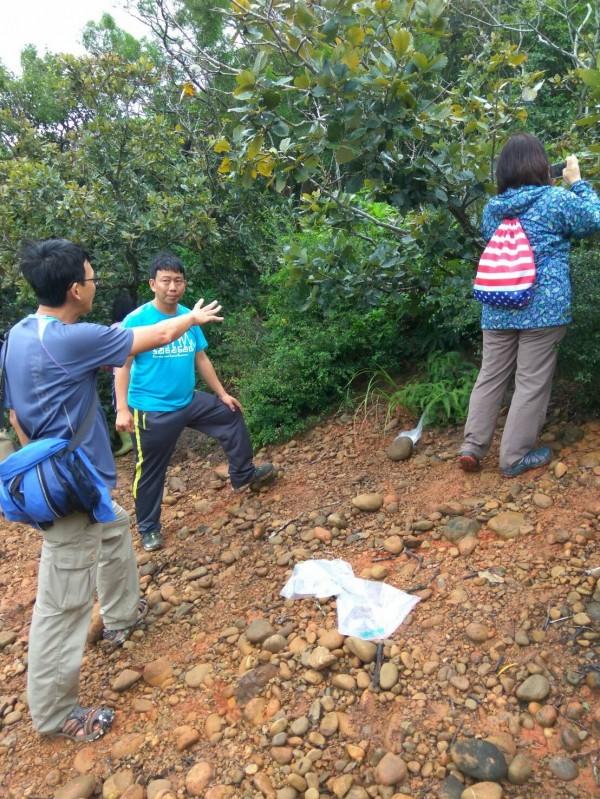 主要分佈在溫帶國家或是高海拔山區的槲櫟,在台灣竟出現在新竹縣新豐靠海地區,也是國內唯一發現的族群,引發植物界高度關注。(新竹縣政府提供)