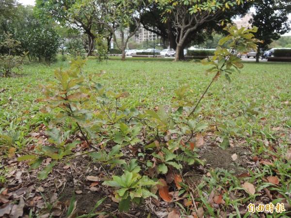 研究團隊也將槲櫟幼苗試種在新竹縣政府前草地上。(記者廖雪茹攝)