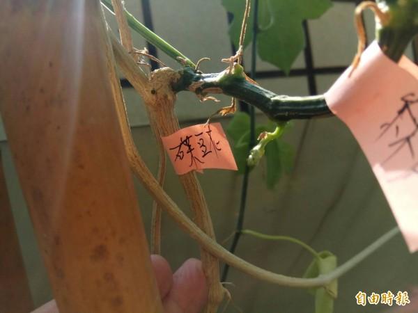 黃姓台中市民種的蝶豆花,旁枝卻長出絲瓜的莖。(記者歐素美攝)