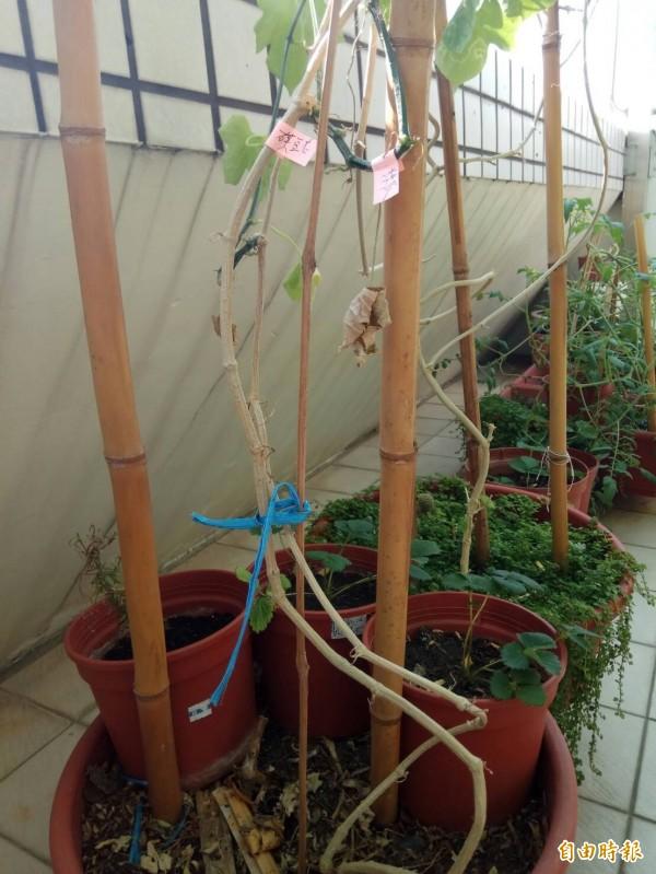 黃姓台中市民種的蝶豆花,右側卻意外長出較綠的絲瓜莖。(記者歐素美攝)