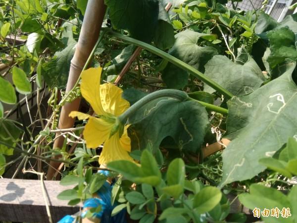 黃姓民眾種蝶豆花卻開出絲瓜花,令人搞不清楚怎麼回事。(記者歐素美攝)