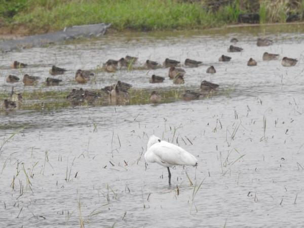 清水濕地黑琵與雁鴨。(林昆海提供)