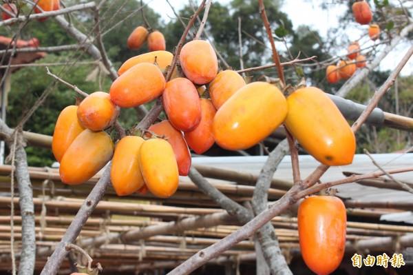黃澄澄的筆柿高掛在樹梢,飽滿誘人。(記者黃美珠攝)