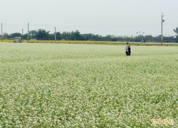 二林蕎麥田進入開花期,白色花海如韓劇《鬼怪》場景,吸引不少民眾拍照。(記者陳冠備攝)