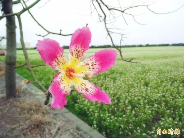 儒林路上仍有少數美人樹開花,粉紅花朵與雪白花田相互輝映。(記者陳冠備攝)