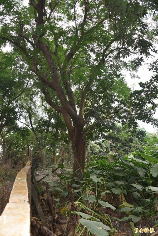萬丹甘蔗育種場的百年老孔雀豆樹。(記者葉永騫攝)
