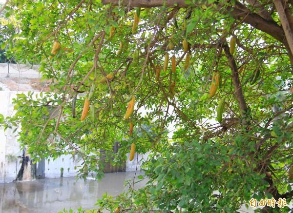 縣道144線行道樹長出酷似香蕉的果實,引起民眾好奇。(記者陳冠備攝)