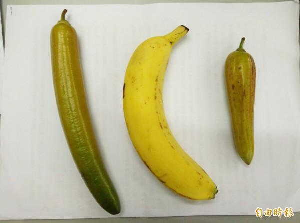 食用蠟燭木與香蕉的對比。(記者陳冠備攝)