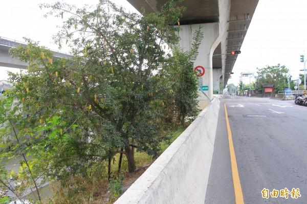 縣道144旁行道樹種植食用蠟燭木,長出果實好像香蕉掛在樹上。(記者陳冠備攝)