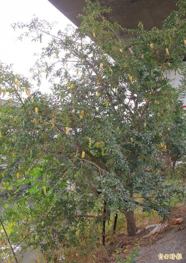 食用蠟燭木掛滿黃色果實,猶如香蕉掛在樹上。(記者陳冠備攝)