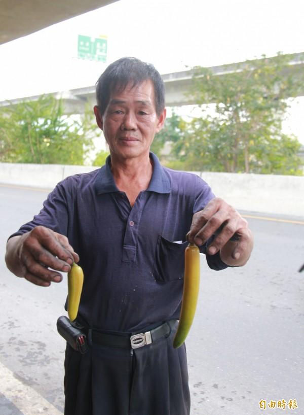 附近機車行蕭姓老闆表示,看了食用蠟燭木結果多年,可是從沒吃過,會想嘗試看看。(記者陳冠備攝)