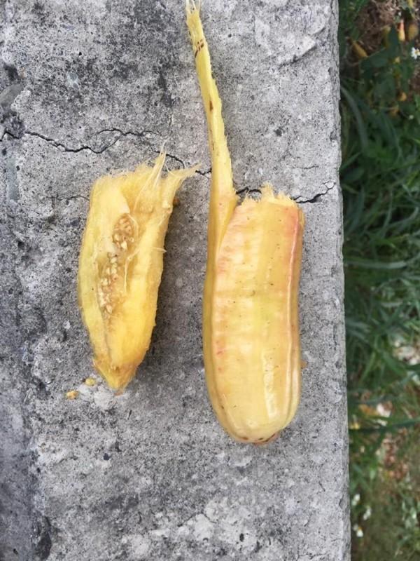 食用蠟燭木果實內部像楊桃,纖維質多,口感酸酸澀澀。(圖:楊國禎提供)